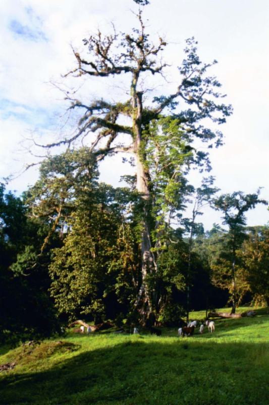 Trees Of Costa Rica